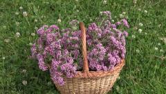 Freshly picked oregano in wicker basket between clover Stock Footage