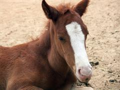 a small foal - helplessness baby animal - stock photo