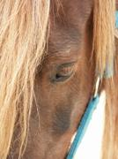 an old aged horse - helplessness - stock photo