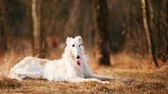 Dog Russian Borzoi Wolfhound Head, Outdoors in Autumn Season - stock photo