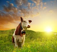 Cow on the meadow Stock Photos