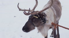 Reindeer is on the snow road.  Stock Footage