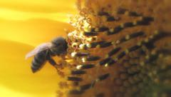 bee collects nectar on sunflower - stock footage