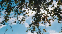 The branches of birch Stock Footage