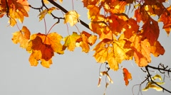 Yellow maple leaves in autumn Arkistovideo