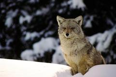 Winter wolf atop a snow bank. - stock photo