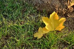 Two fallen leaves - stock photo