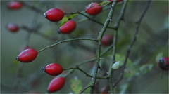 Fruits of rose hip on his bush Stock Footage