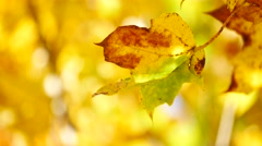 Yellow maple leaf in autumn Stock Footage