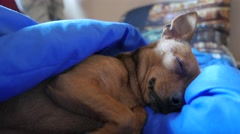 Closeup shot Sleeping puppy awakes - stock footage