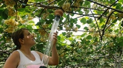 Farm worker collecting pollen with suction pump in kiwi plantation Stock Footage