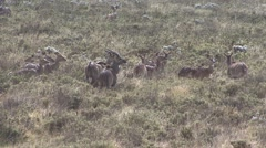 Mountain Nyala herd on the grass fields in the morning Stock Footage
