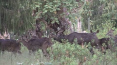 Mountain Nyala herd walking in forest in the afternoon Stock Footage