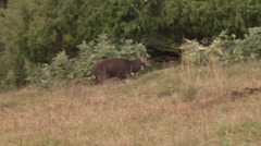 Mountain Nyala youngster walking in forest in the afternoon Stock Footage