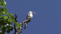 Northern Red-billed Hornbill calling Stock Footage