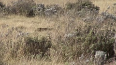 Serval Cat walking in bush Stock Footage
