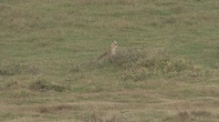 Serval Cat walking on grass plains Stock Footage