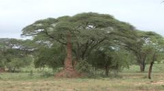Termit Mound under tree - stock footage
