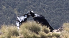 Thick-billed Raven cleaning each others feathers Stock Footage