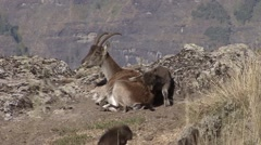 Walia Ibex baby jumps over mum Stock Footage
