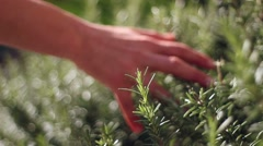 Hand touching rosemary plant Stock Footage