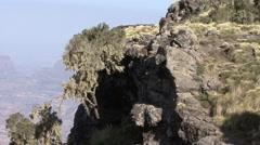 Walia Ibex group walk down stony slope Stock Footage