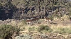 Walia Ibex herd feeding on bush Stock Footage