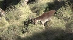 Walia Ibex male feeding Stock Footage
