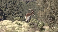 Walia Ibex male looking around and walk away Stock Footage