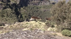 Walia Ibex male sniff on female - stock footage