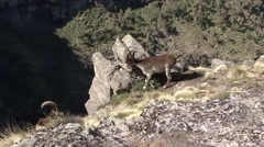 Walia Ibex male walk down stony slope Stock Footage