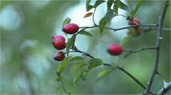 Fruits of wild rose, rose hip Stock Footage