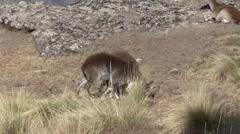 Walia Ibex playfighting beside Geladas Stock Footage