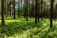 pine forest in sunlight - stock photo