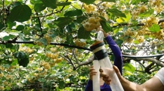 Farm workers collecting pollen with suction pump in kiwi plantation Stock Footage