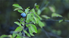 Fruit of sloe on the branch Stock Footage