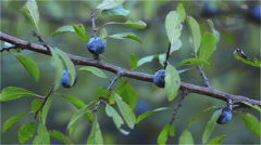 Blackthorn on the branch - stock footage