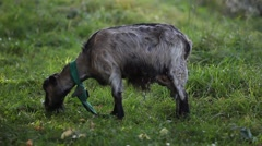 Goat grazing in the meadow Stock Footage
