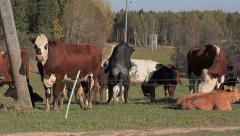 Cows frolics in meadow Stock Footage
