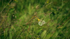 The Gonepteryx butterfly flies from yellow flower Stock Footage