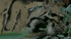 A rare, elusive and endangered Clouded Leopard (Neofelis nebulosa). Stock Footage