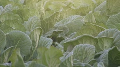 Collard green field Stock Footage