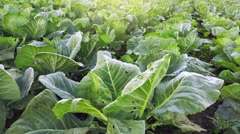 Collard green field, cultivated vegetable landscape Stock Footage