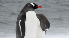 Penguins on the beach in the snow - stock footage