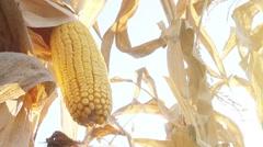 Harvest ready corn ear on stalk Stock Footage