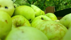 Picking green winter apples, in a cardboard box Stock Footage