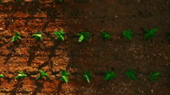 AERIAL: smooth flight above young sprouts of bananas Stock Footage