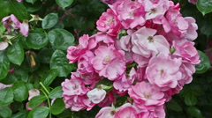 Big bush of the blossoming pink roses Stock Footage