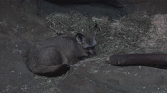 Bat eared fox in cave looking environment 4k Stock Footage