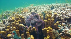 Caribbean reef octopus mating on coral reef Stock Footage